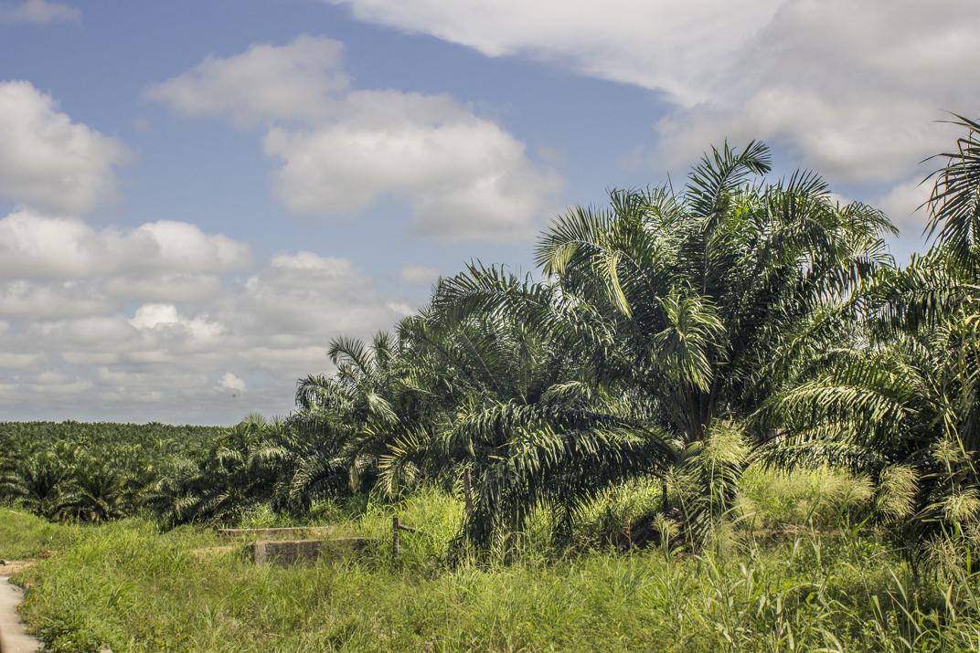 Economía de muerte en Guatemala: Palma de aceite y la transfiguración de las tierras del norte