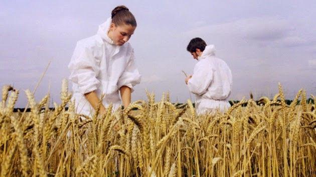 Los dueños del pan: El lobby y los peligros del trigo transgénico